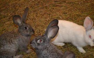 Кролиководство в россии — направления, плюсы и минусы, особенности разведения, советы начинающим