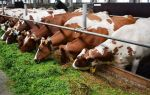 Как разводить коров — особенности бизнеса, правила организации, заработок на содержании скота