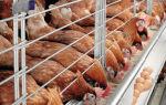 Разведение кур как бизнес — домашний на яйцо и мясо в 2020