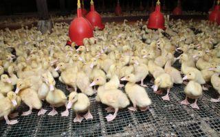 Разведение уток как бизнес — выгодно или нет равзодить на мясо