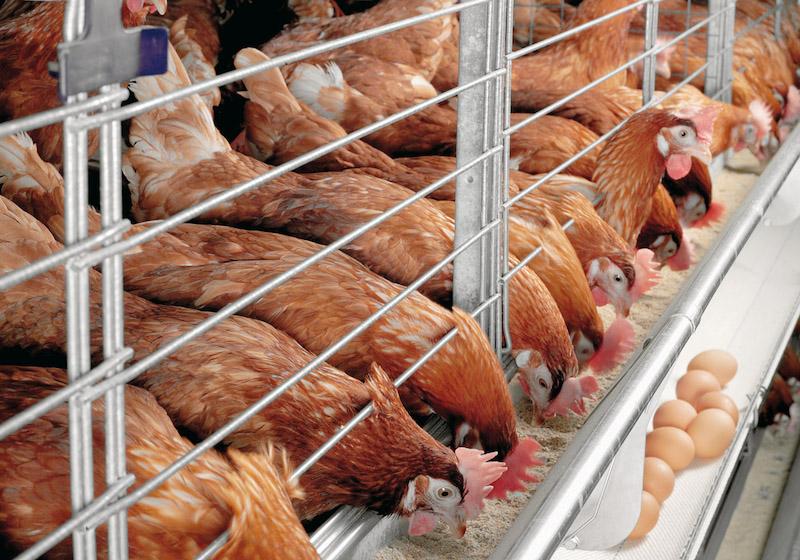 Куры несушки бизнес на яйцах