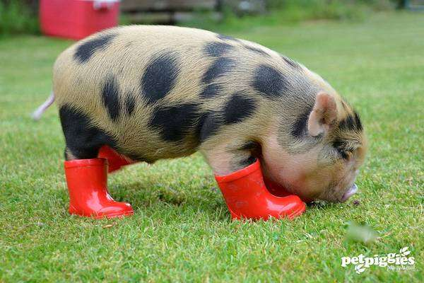 Свой бизнес по разведению мини свинок