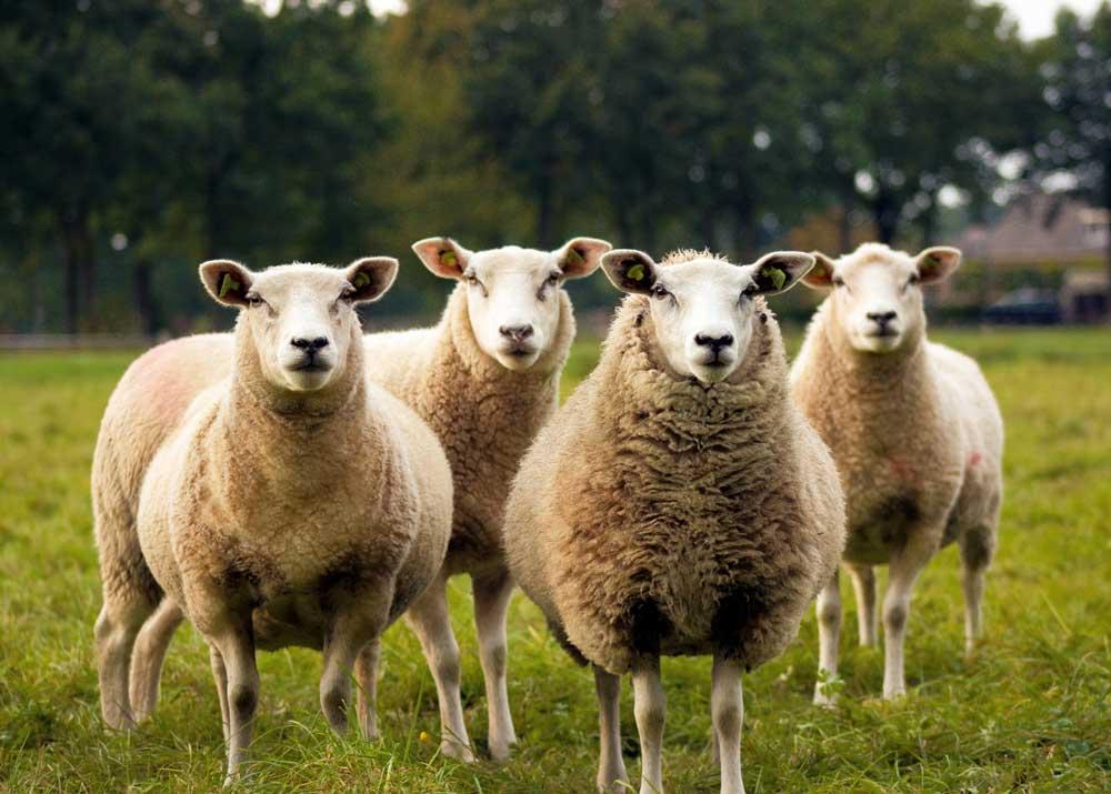 Овцеводство: разведение овец и баранов как бизнес в 2019 году