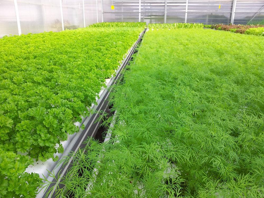 Выращивание зелени в теплице как бизнес: петрушка на продажу, укроп зимой и чеснок, как вырастить круглый год