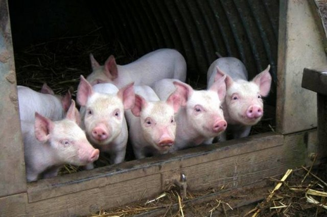 Как открыть свиноферму на 100 голов – бизнес-идеи и опыт бывалых