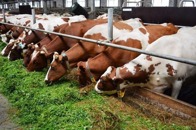Как разводить коров - особенности бизнеса, правила организации, заработок на содержании скота