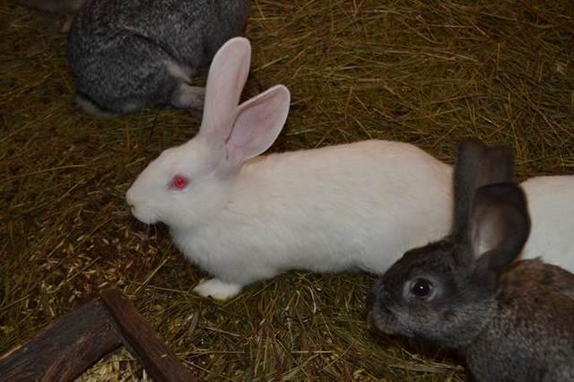 Кролиководство в России - направления, плюсы и минусы, особенности разведения, советы начинающим