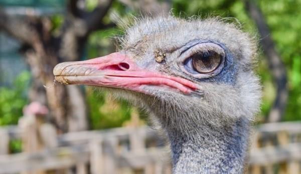 Прибыль, которую может дать разведение страусов в домашних условиях для начинающих бизнесменов